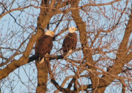 eagle pair sitting in a tree along the Mississippi
